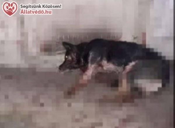 Állatkínzás Kazincbarcikán: kapával verték agyon a kutyát