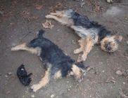 Kínok közepette pusztultak el a kutyák a csigaméregtől