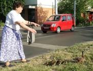 A hölgy, aki kacsákat mentett