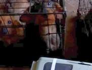 Kutyahorror: 92 tacskót tartottak szörnyű körülmények között