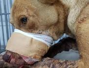 Brutális állatkínzás: tűzijátékot etettek a kutyával a gyerekek, majd felrobbantották a szájában