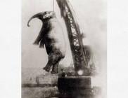 Száz éve akasztással végeztek ki egy elefántot