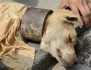 Vastag acélbilinccsel a nyakán tartották a kutyát