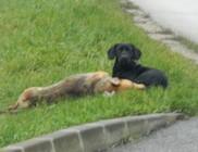Halott társát őrizte az út szélén a kutya