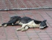 Kínok között vesztette életét 14 szibériai szánhúzó kutya