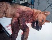 Hanna kutyát egy gazdás kutya tépte szét