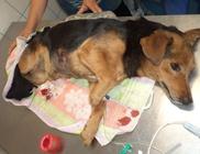 A sebesült, kihűlt kutyába négy golyót mutatott ki a röntgen