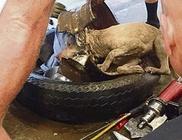Egy autó kerekébe szorult be a kutyus feje