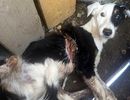 Durva kutyamészárlás Somlón