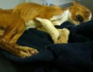 Szemeteszsákba csomagolták és egy kartondobozba dobták ki a héthónapos kutyát