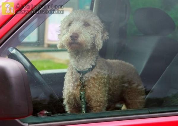 Autóban hagyott kutya