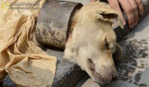Acélbilinccsel a nyakán tartották a kutyát