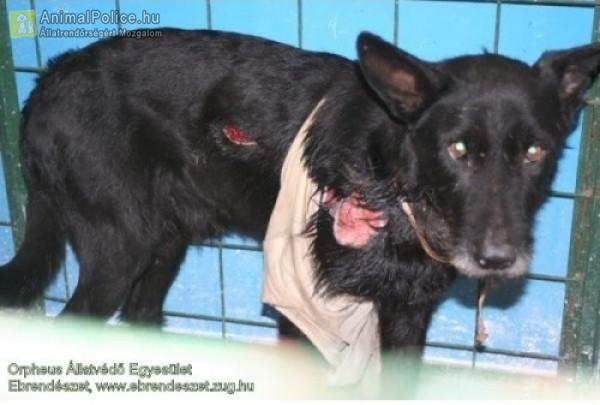 Ásóval vagy valami éles szerszámmal bánthatták - kínzott kutya