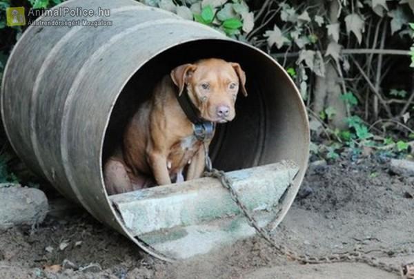 Láncon sínylődött kutyus
