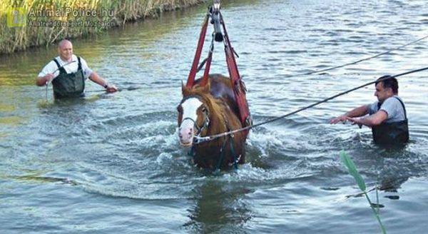 Ló mentése a csatornából