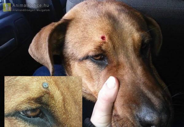 Légpuskával lőtték a kutyát fejen