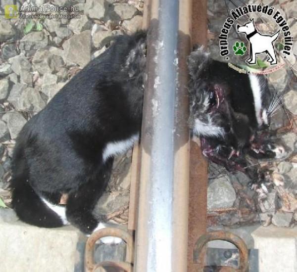 Villamos ütötte el a cicát
