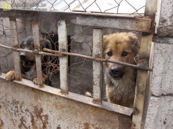 Igénytelen udvari kutyatartásból menekültek