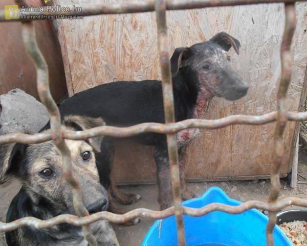 Kutyatartás, beteg - kezeletlen kutyák